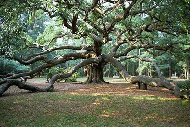 Plane-tree1